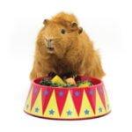 Haypigs Food bowl Trainer Circus
